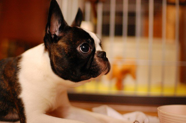 A picture of a Boston Terrier, one of the best apartment dogs