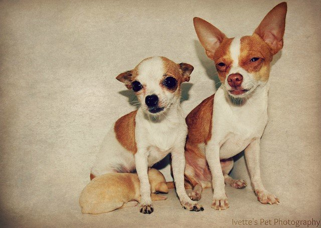 A picture of chihuahua, one of the best apartment dogs