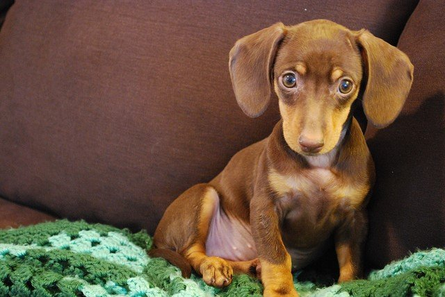 A picture of a dachshund, one of the best apartment dogs
