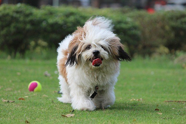 A picture of a lhasa apso, one of the best apartment dogs