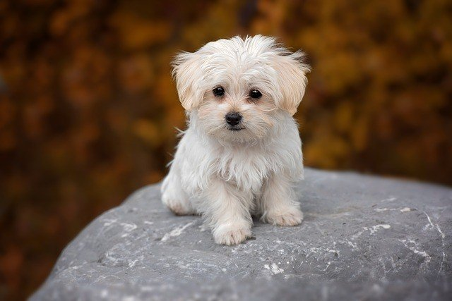 A picture of a maltese, one of the best apartment dogs