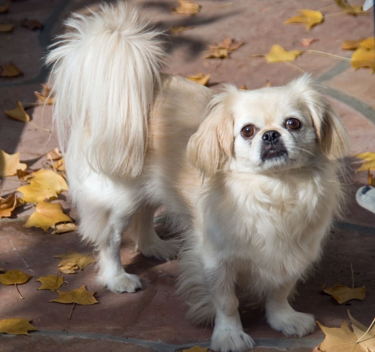 A picture of a pekinese, one of the best apartment dogs