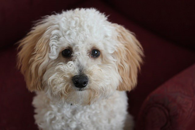 A picture of a poodle, one of the best apartment dogs
