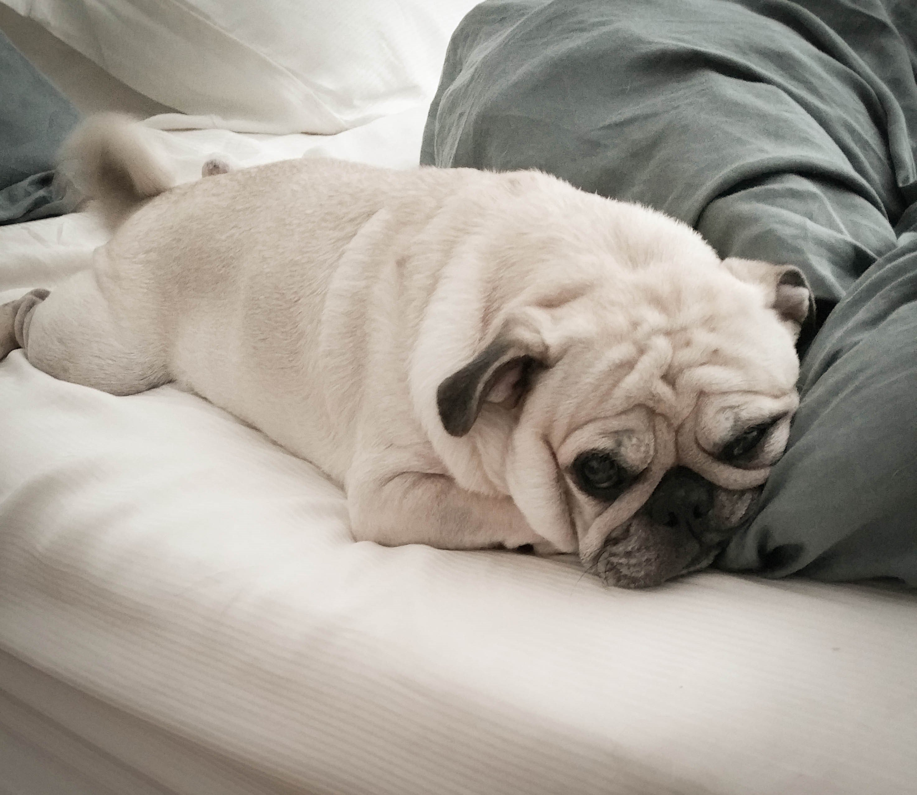 A picture of a pug, one of the best apartment dogs
