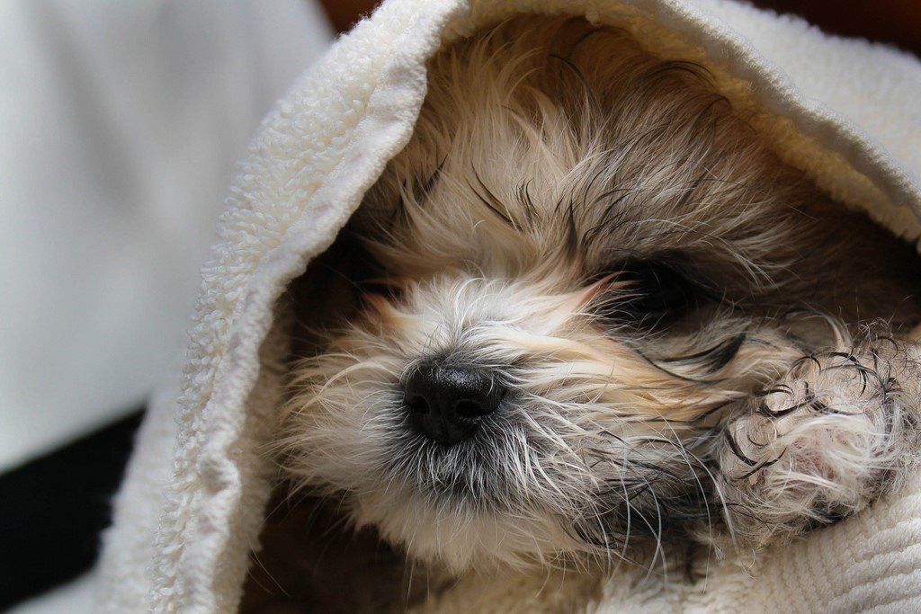 A picture of a shih tzu, one of the best apartment dogs