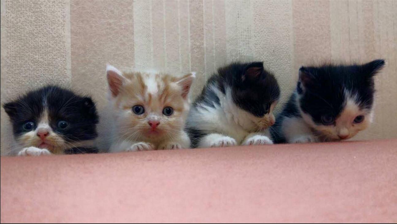 Facebook - Munchkin Cat Thailand
