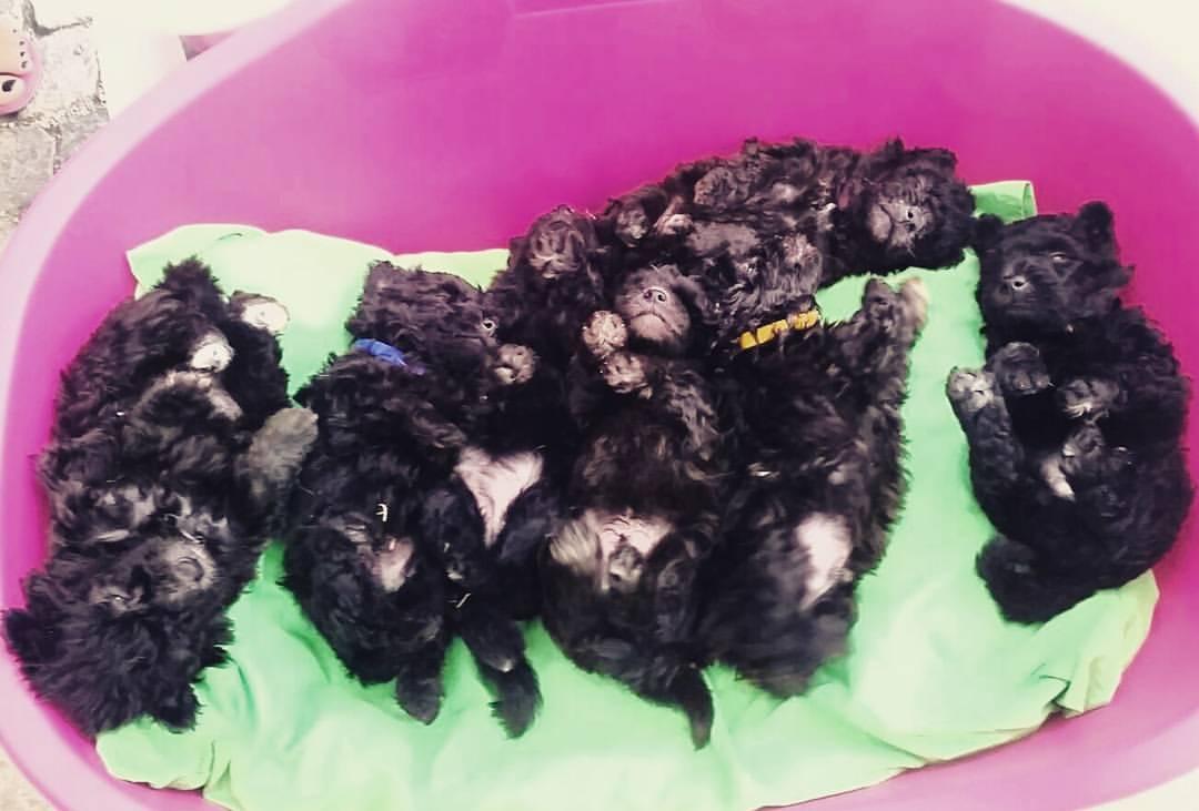Pumi Puppies in a litter