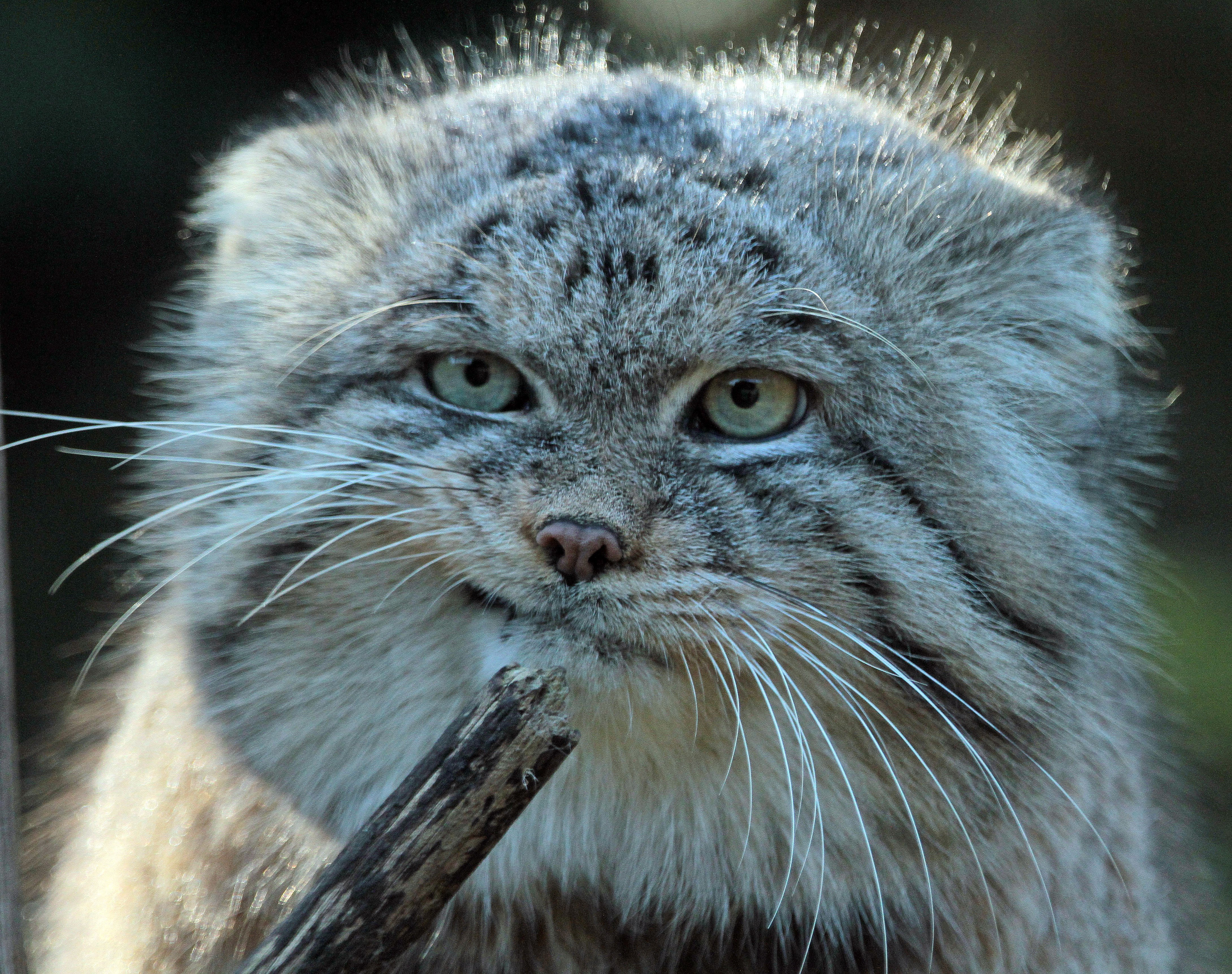 Old Pallas Cat