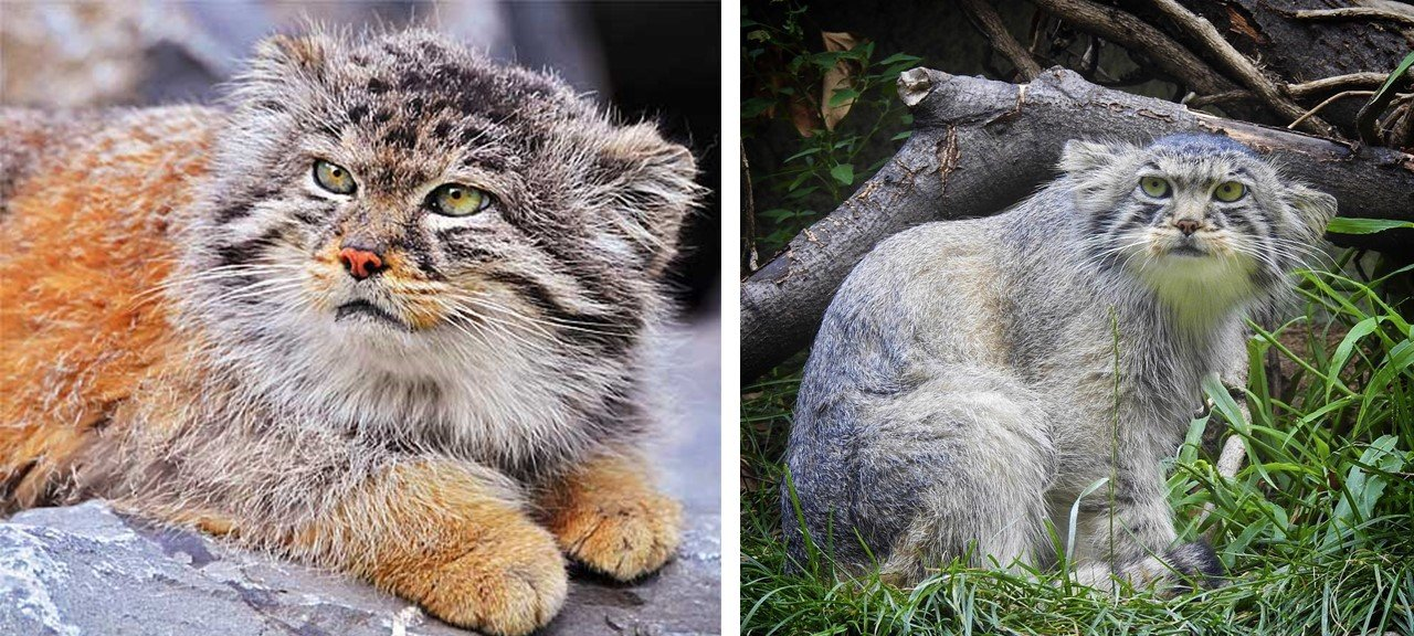 Pallas Cats with red and grey colors