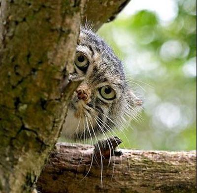 Hiding Pallas Cat