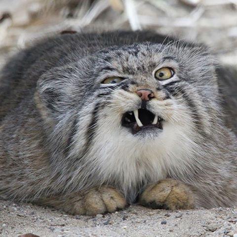 Pallas Cat Showing Teeth