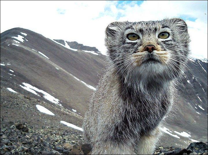 Pallas Cat in Altai