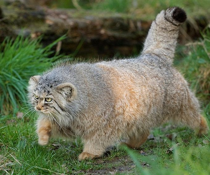 A Pallas Cat strolling in the grass
