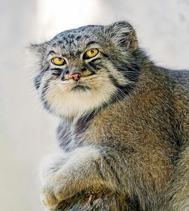 Pallas Cat Resting on a Stoop