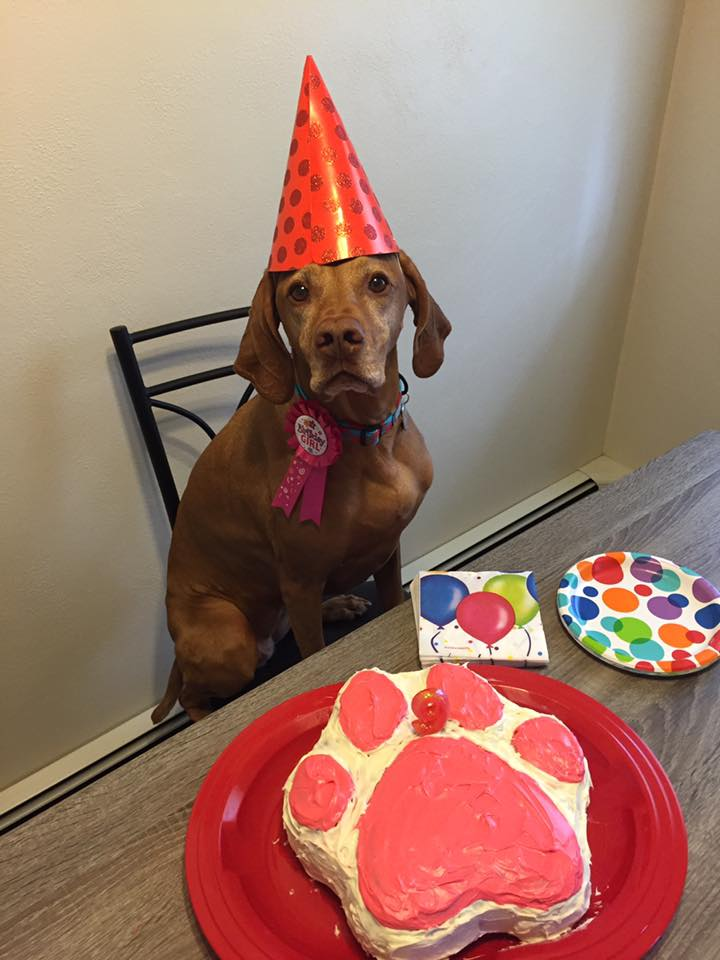 Viszla with hat on for birthday party