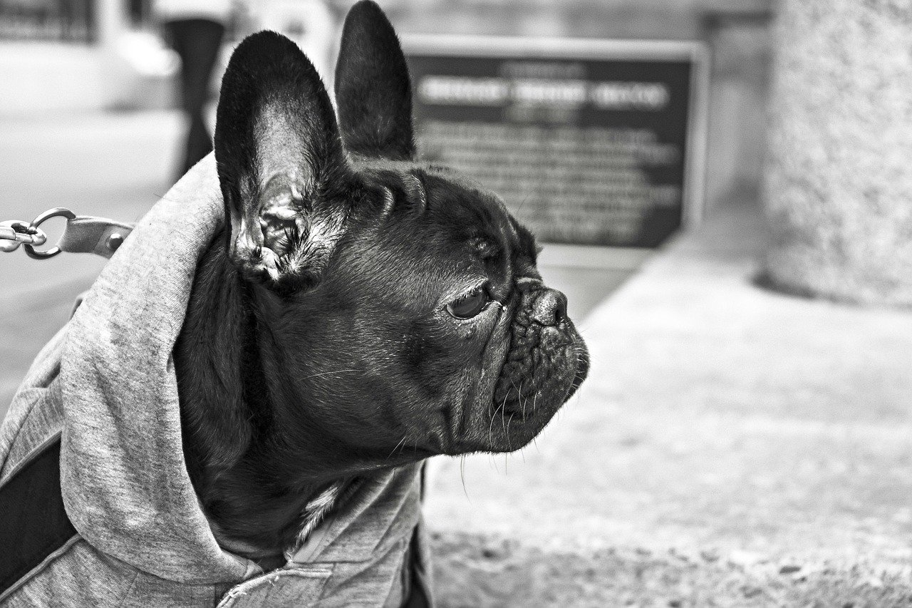 Inner Ear Infection (Otitis Interna) Picture of a French Bulldog