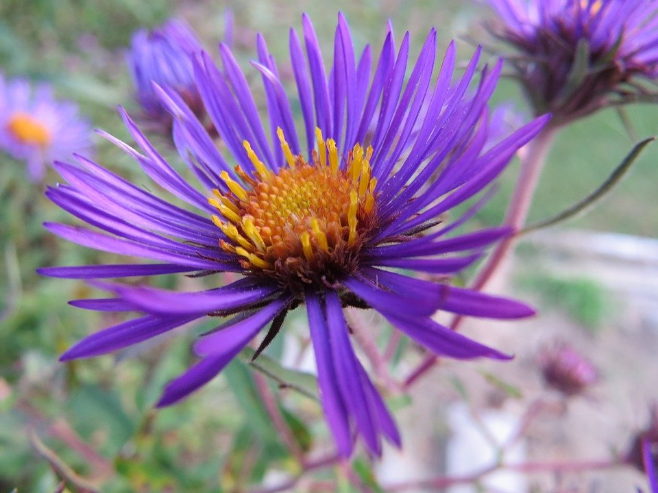 Cat Friendly Flowers - Asters
