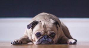 Dog is lethargic