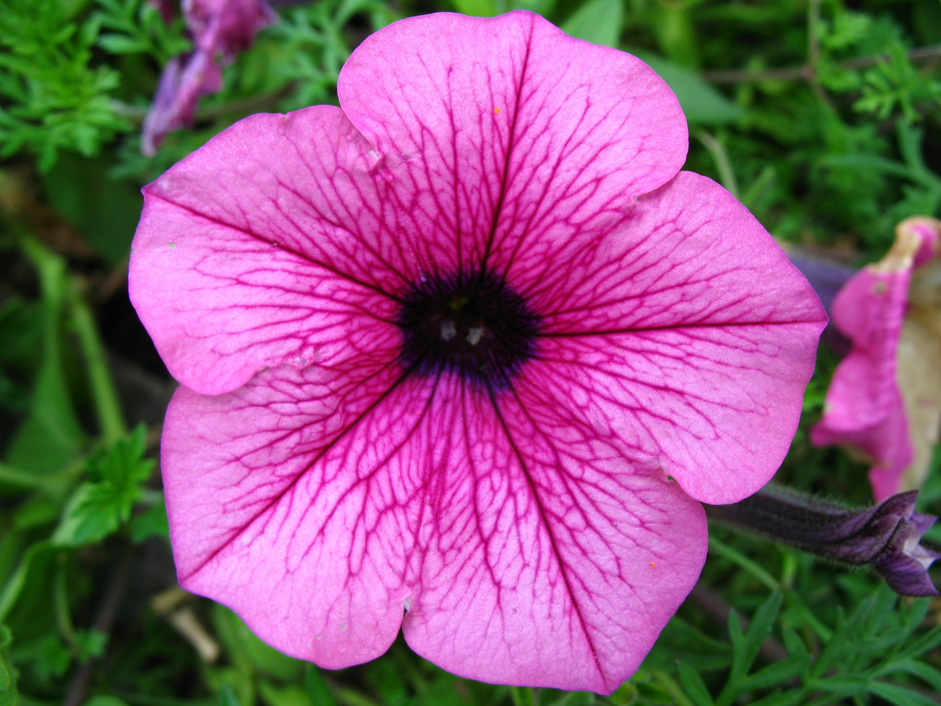 Cat Friendly Flowers - Petunia