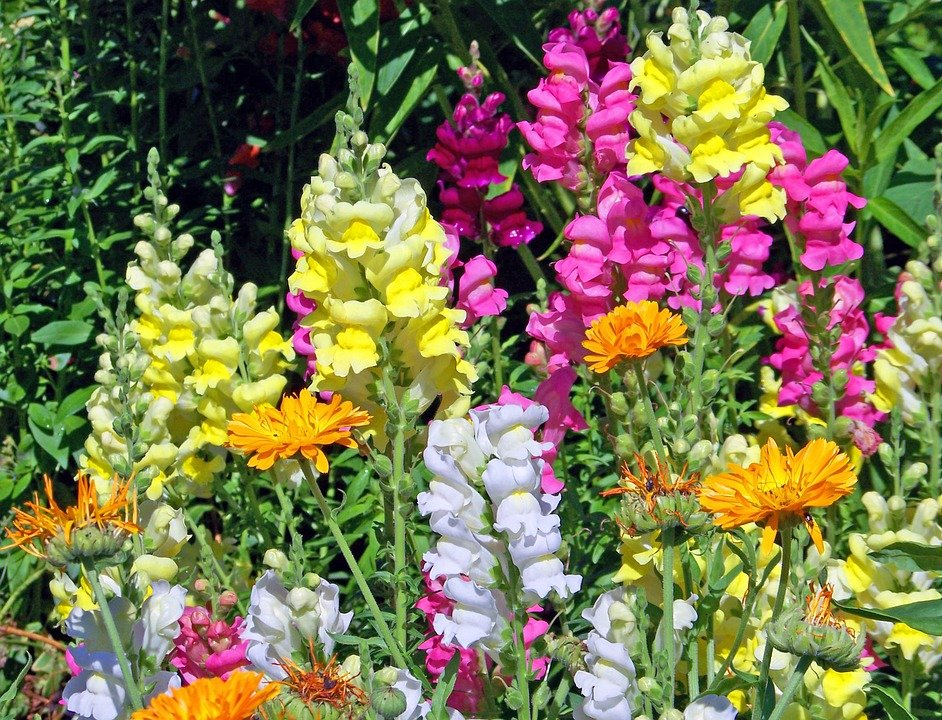 Cat Friendly Flowers - Snapdragons