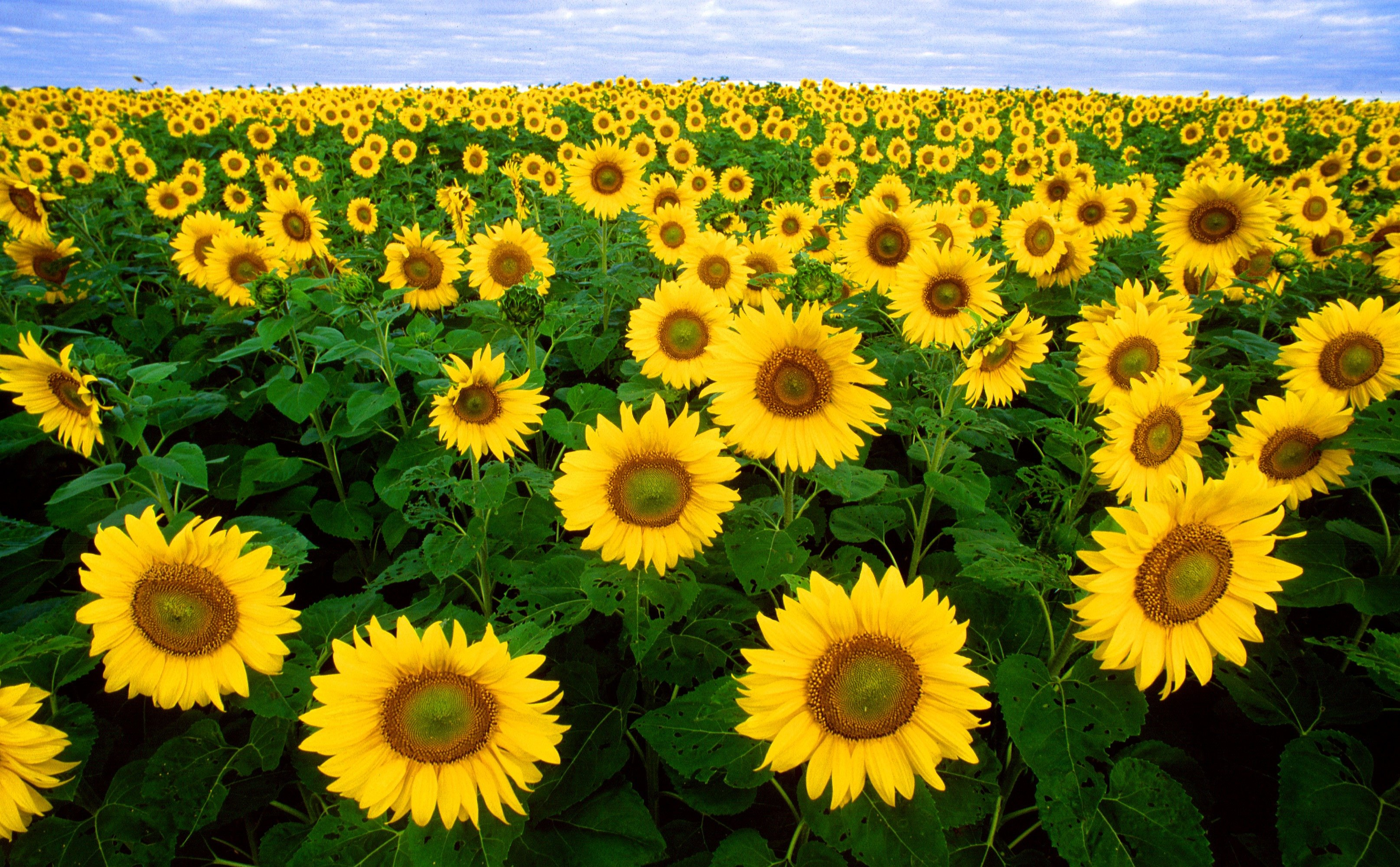 Cat Friendly Flowers - Sunflowers