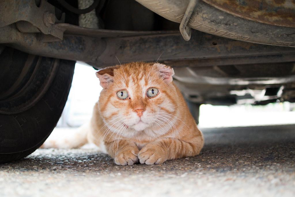 Cat hiding under a car
