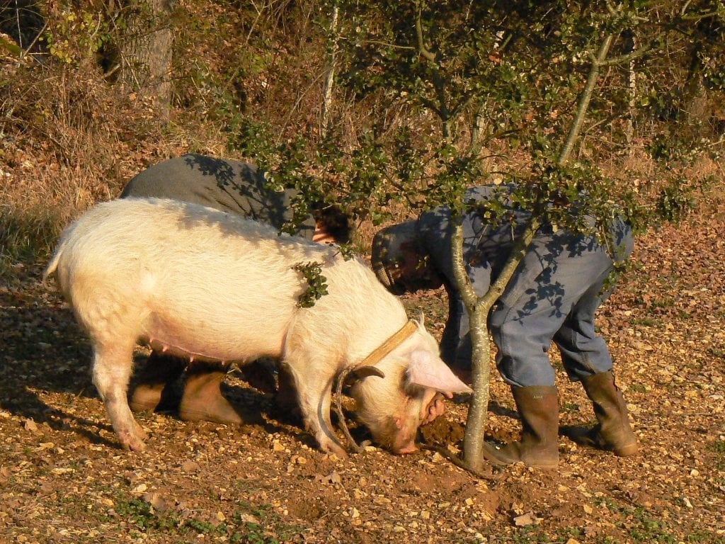 truffle hunting pig