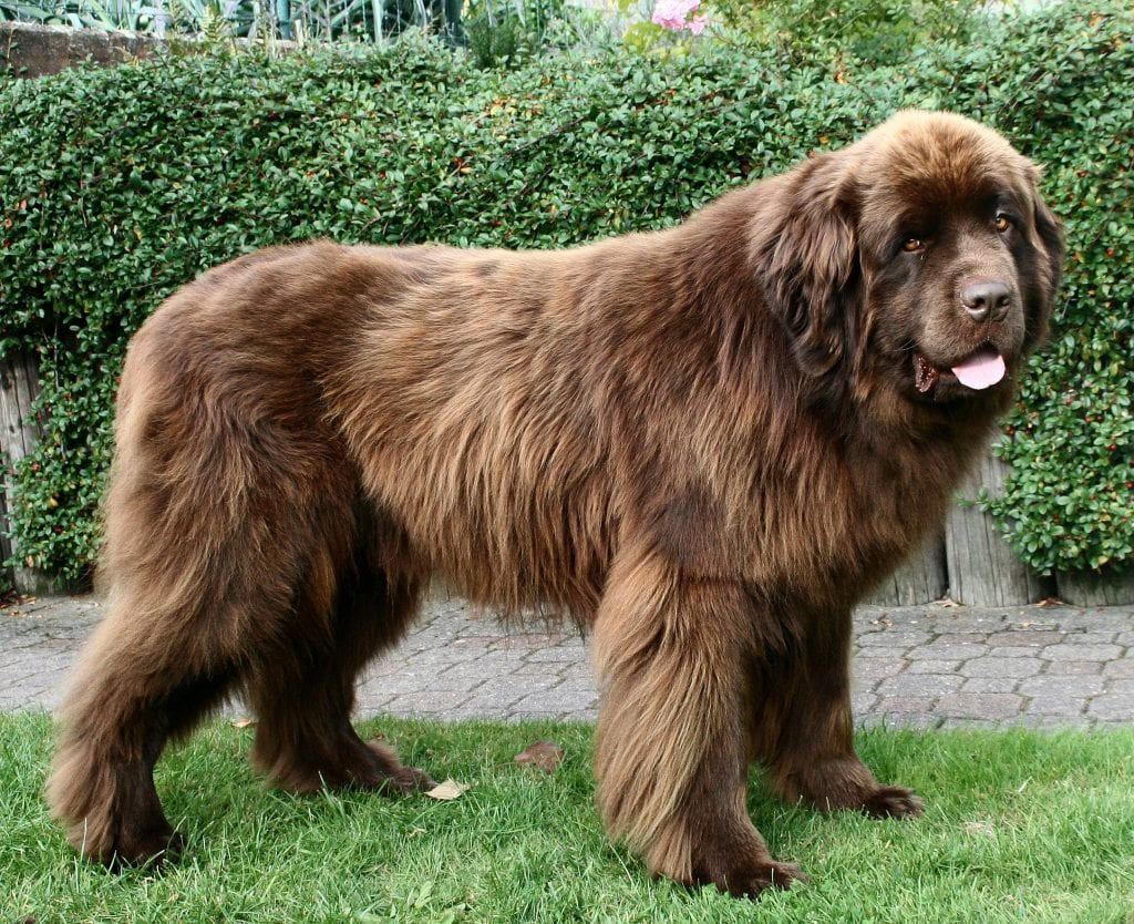 Best dog breeds for kids: Newfoundland