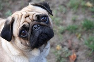 wrinkly pug face pug breed