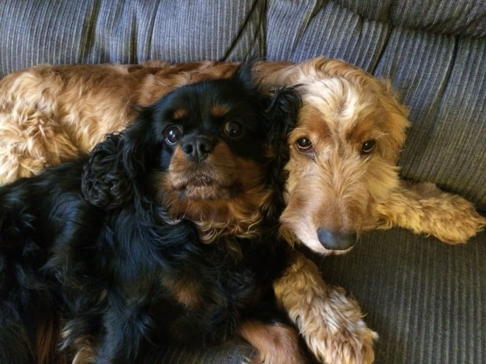 Cavlier King Charles Spaniel and Cocker Spaniel