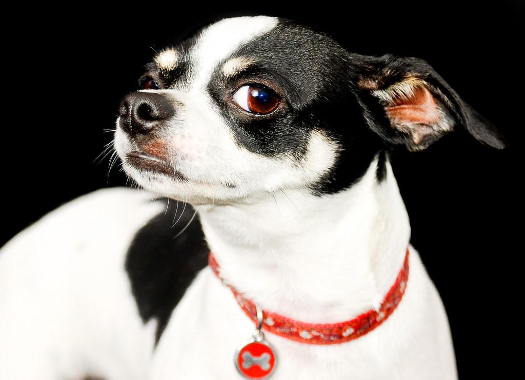 dog wearing collar and dog tag