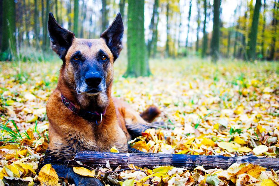Best Guard Dog Breeds: Belgian Malinois