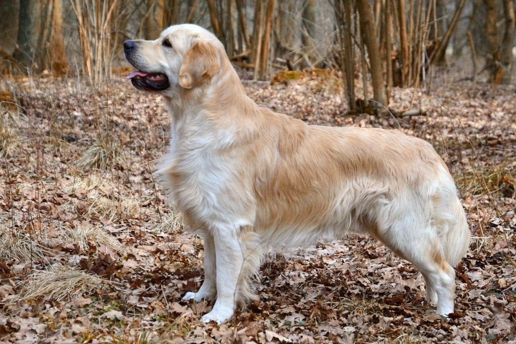 Best service dogs: golden retriever