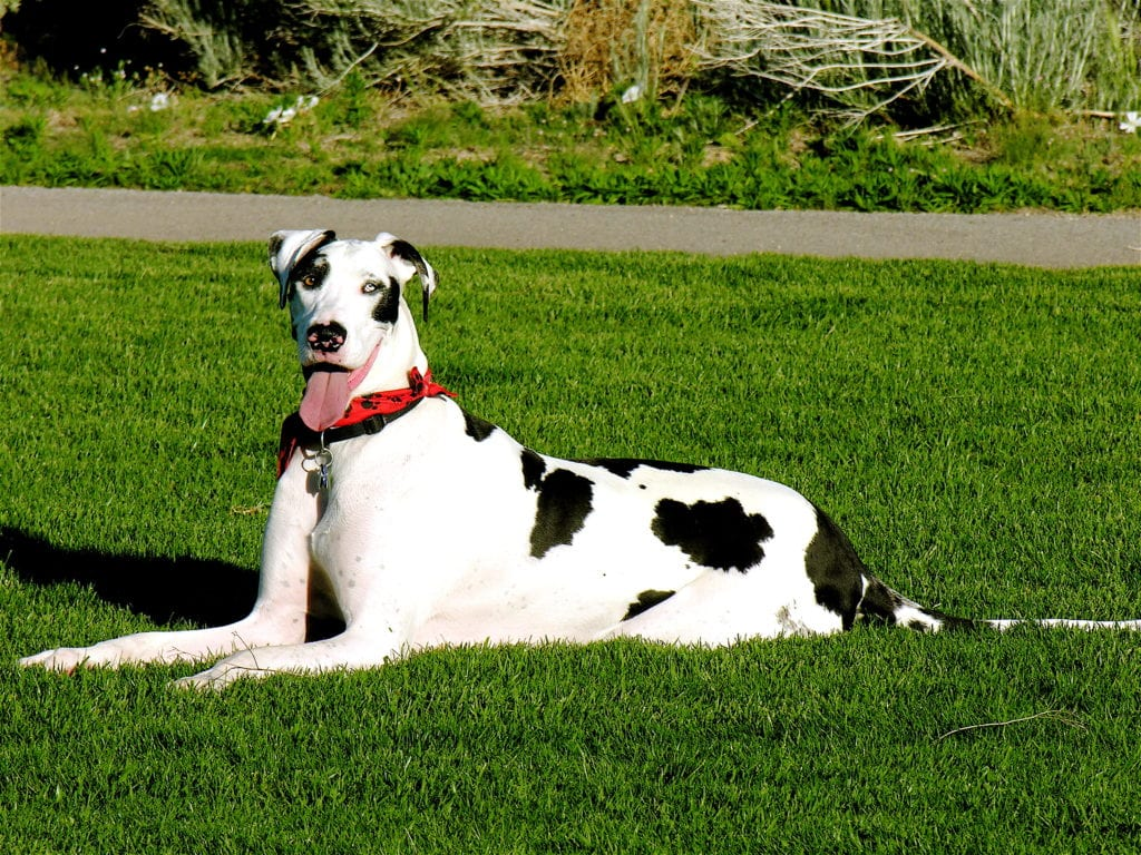 Best service dogs: great dane