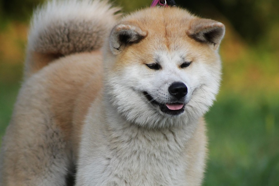 Best guard dog breeds: Akita