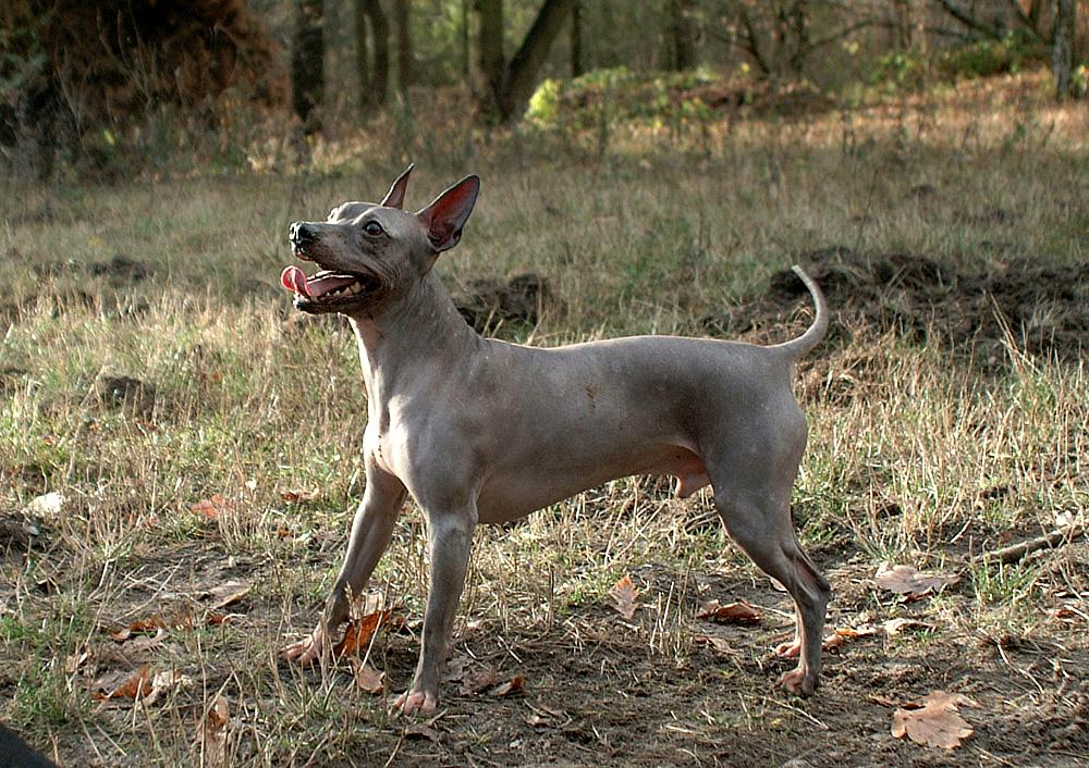 Best hairless dog breeds: American hairless terrier