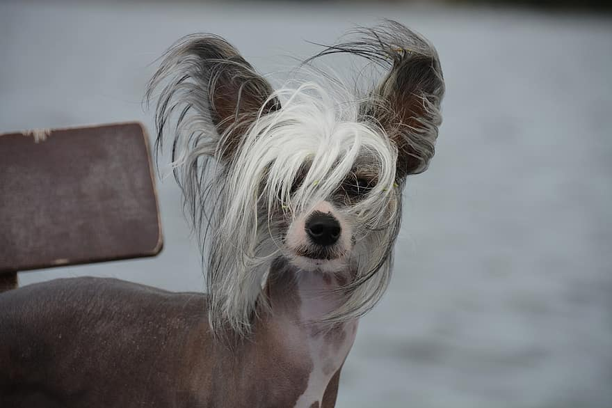 Best hairless dog breeds: Chinese Crested