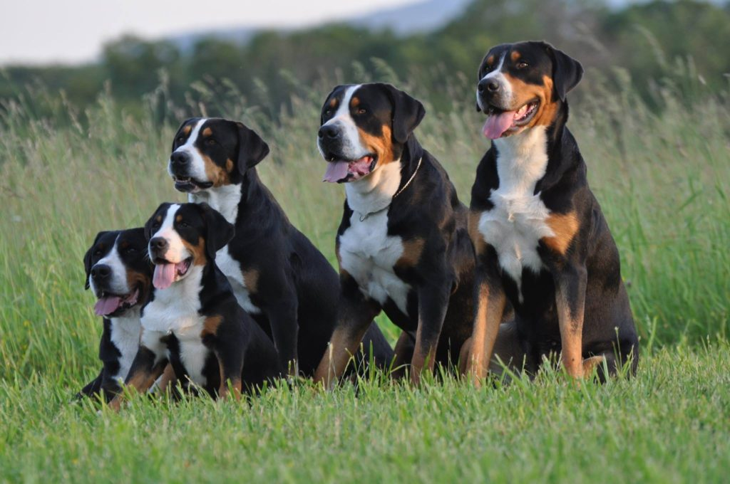 best giant dog breeds - Greater Swiss Mountain Dog