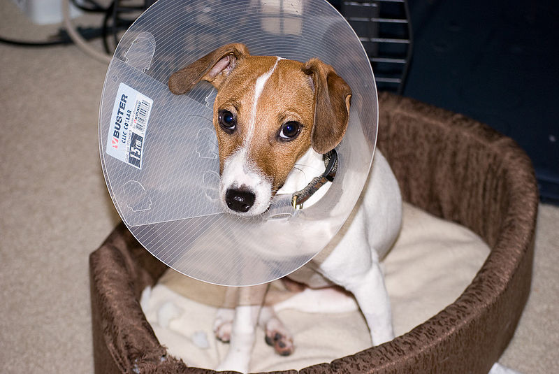 Dog e-collar: after-spay care for dogs