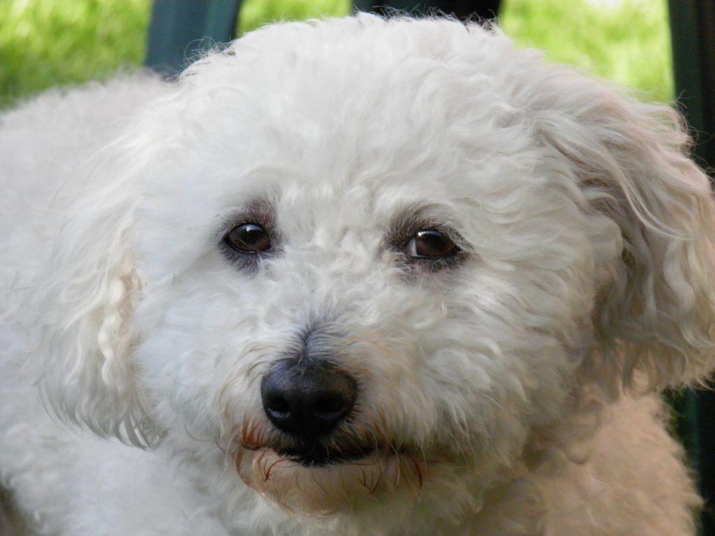 best tiny dog breeds - Bolognese
