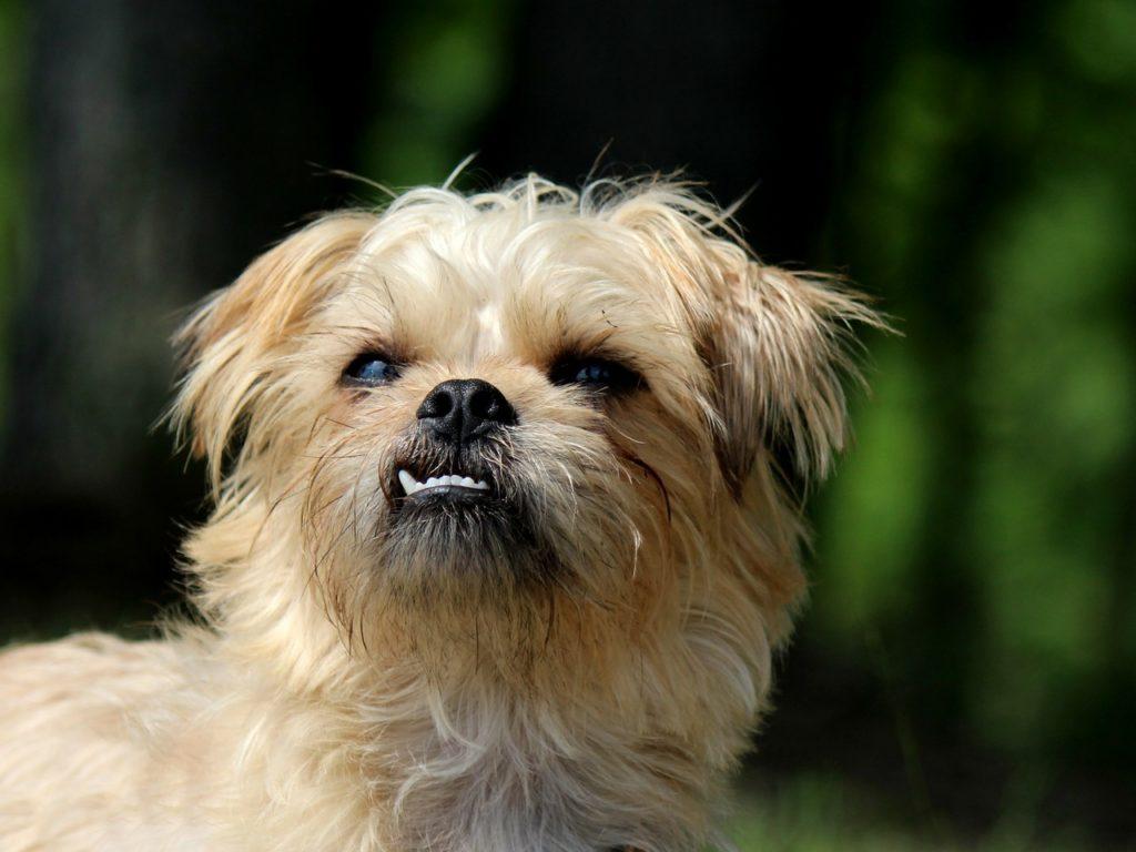 best tiny dog breeds - brussels griffon