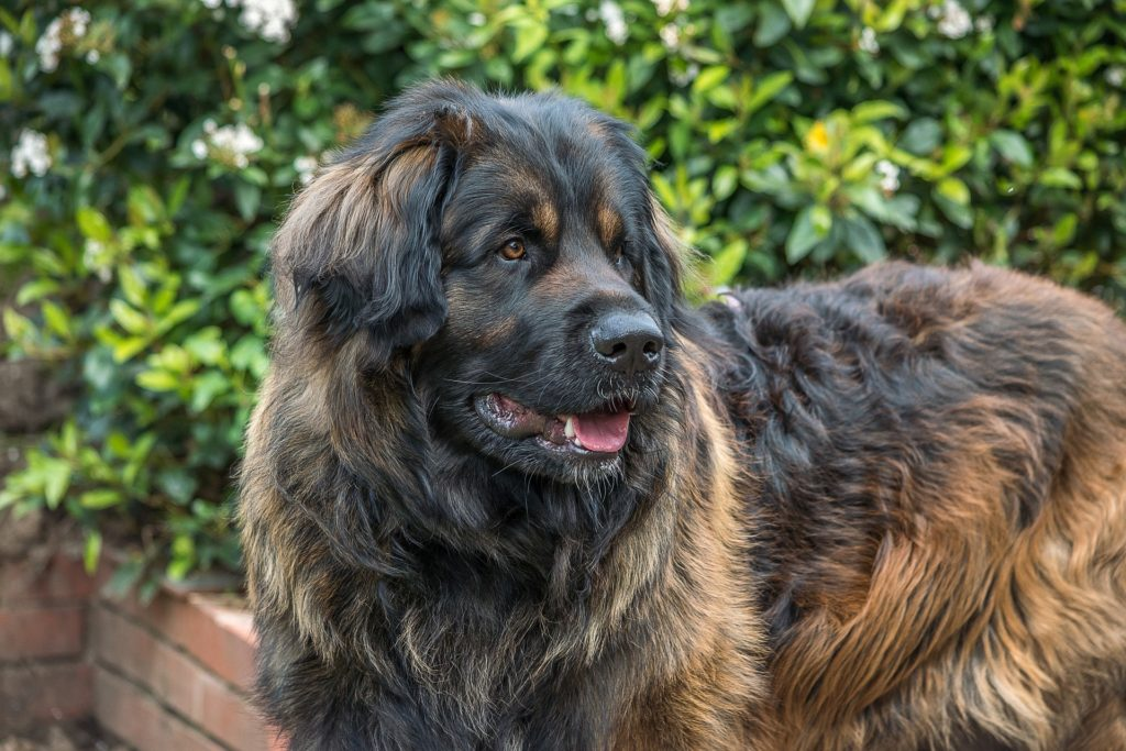 best giant dog breeds - Leonberger