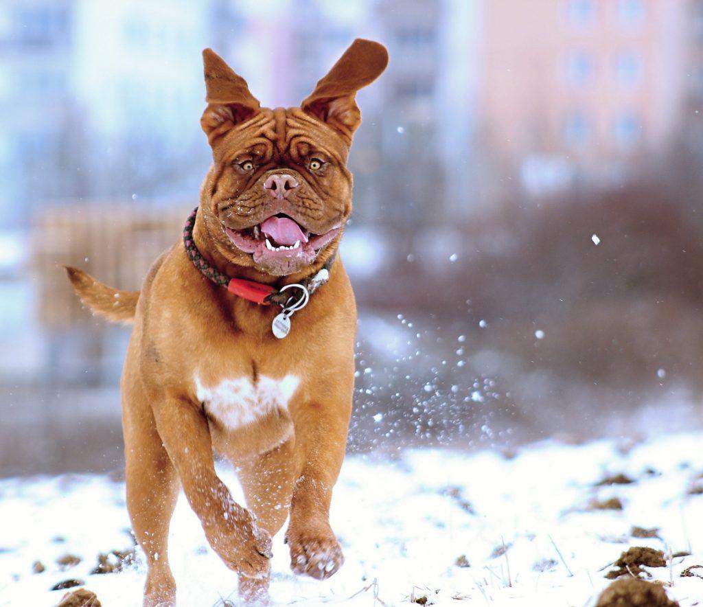 Dogue de Bordeaux / French Mastiff
