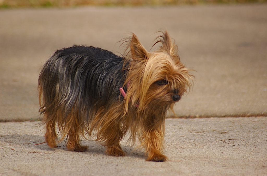 teacup breeds: yorkshire terrier