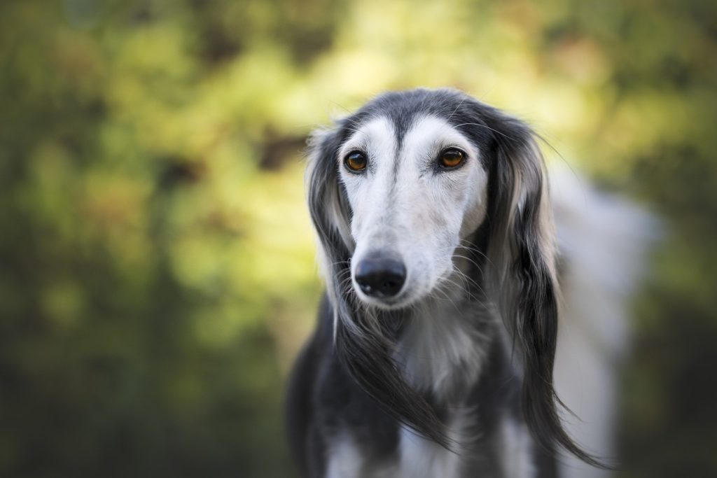 greyhound calm dog breed