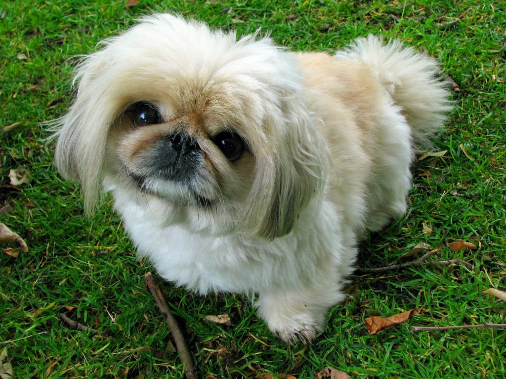 pekingese calm dog breed