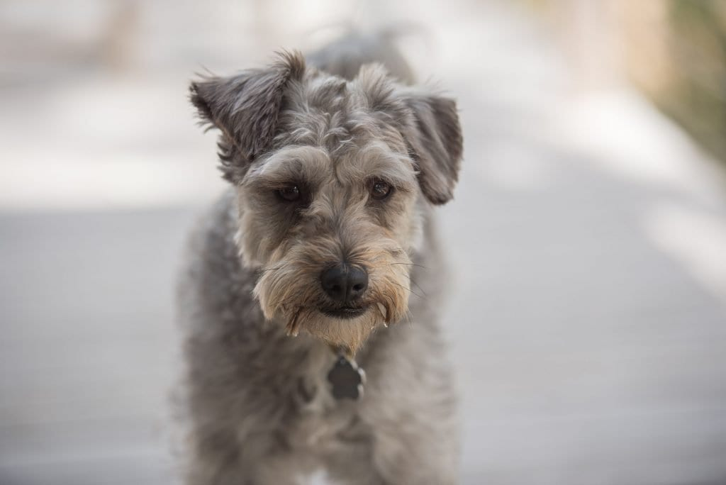 Pumi dogs have intelligent faces