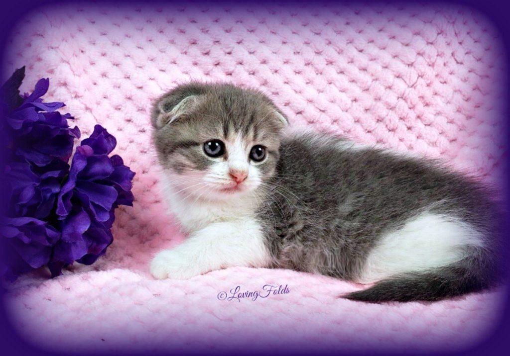 Scottish Fold Munchkin Kitten