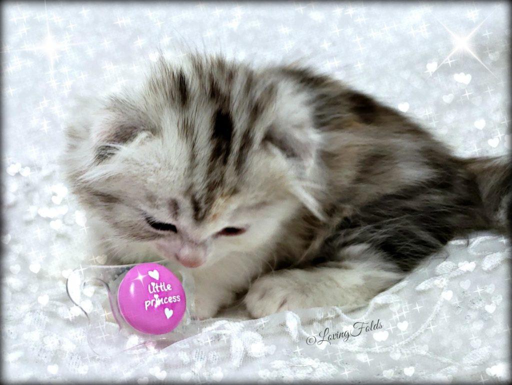 Scottish Folds USA Kitten