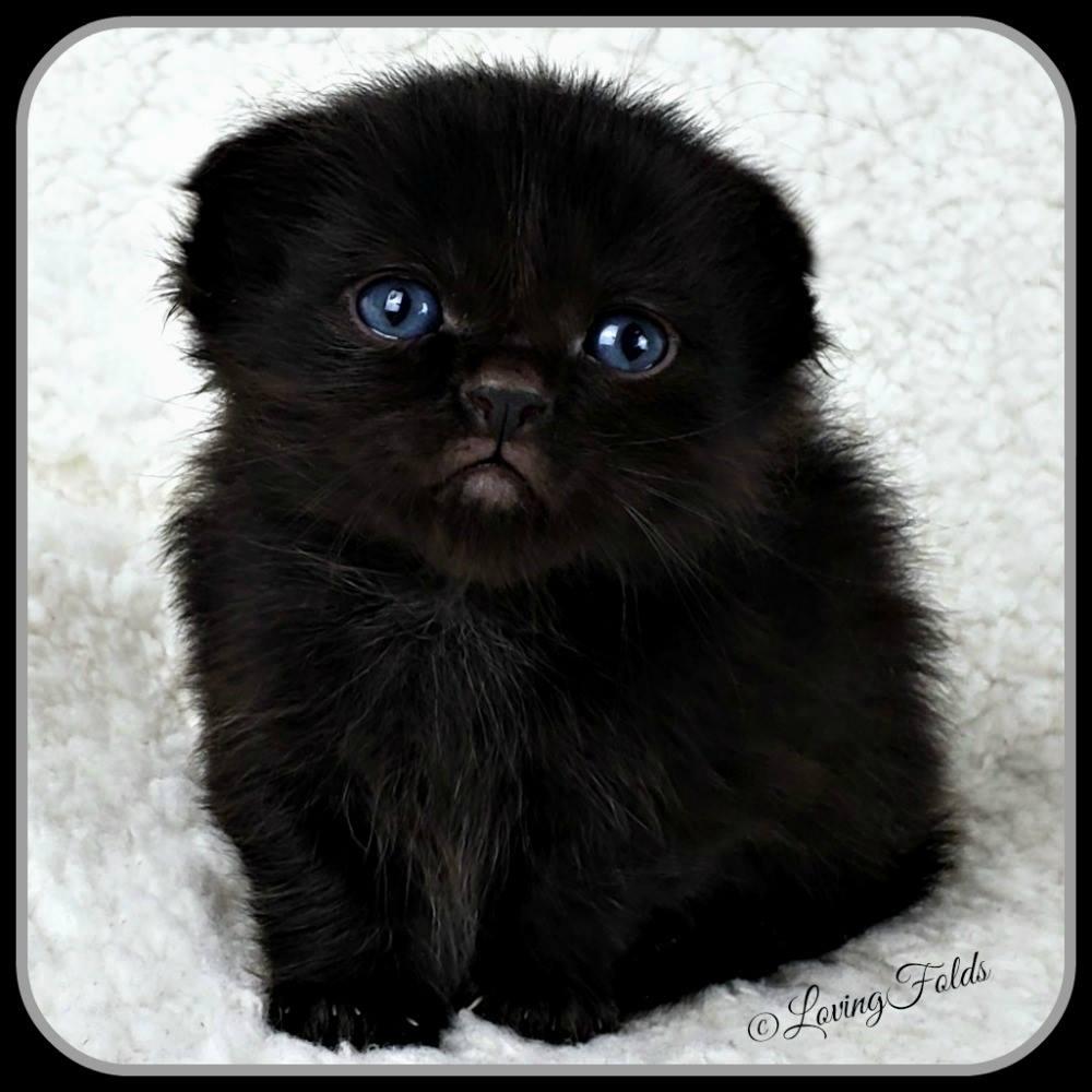 Scottish Folds Munchkin Kitten